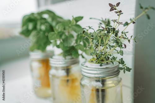 Fresh herbs gardening at kitchen countertop top view of genovese basil, mint, thyme in hydroponic kratky method jars. - fototapety na wymiar