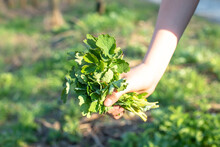 Bouquet Of Fresh Green Leaves Chelidonium Majus, Celandine, Nipplewort, Swallowwort Or Tetterwort Close-up. Collect Medicinal Herbs In Environmentally Friendly Forest Area.