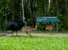 Cassowary At The Dubuji Boardwalk With Two Of It's Chicks (Southern CassowaryCasuarius Casuarius Johnsonii)