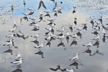 Flock Of Seagulls Find Food In Shallow Water