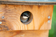 A Tree Swallow Peeks Out Of Its Birdhouse.