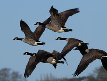 Canada Goose (Branta Canadensis) In Flight With Trees In The Background