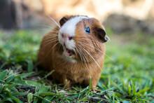 A Guinea Pig Looking Cute
