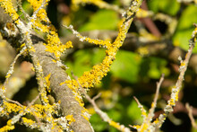 Orange Lichen Growing On Brown Tree Branches With A Natural Green Background
