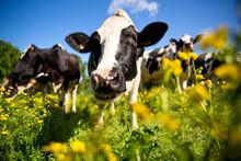 Vache Laitière Au Milieu Des Champ D'herbe Et De Fleurs Au Printemps.