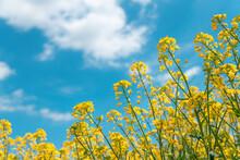 Rapeseed (Brassica Napus) Crop Field In Bloom