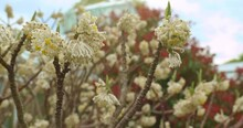 Spring Flowering White And Yellow Flowering Shrub.