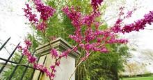 Spring Flowering Redbud Tree In Full Bloom Pink Flowers. Camera Rotation.