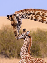 Giraffe In The Wild With Baby. Mother Kissing Her Baby.