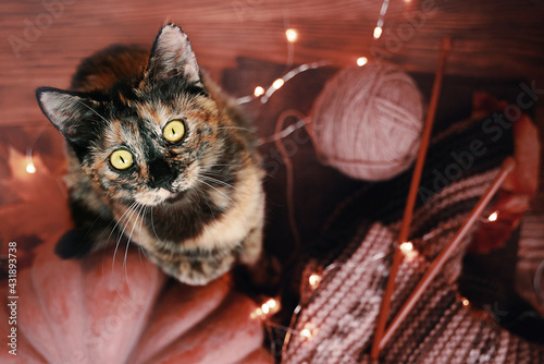 Fototapeta Top view of a funny kitten, a round orange pumpkin, garland and a knitted scarf