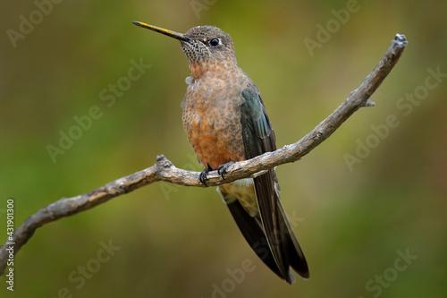 Naklejka premium Giant hummingbird, Patagona gigas, bird sitting von the branch in the nature mountain habitat, Antisana NP, Ecuador. Largest hummingbird in the world, clear green. Rare animal, wildlife nature.