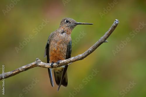 Naklejka premium Giant hummingbird, Patagona gigas, bird sitting von the branch in the nature mountain habitat, Antisana NP, Ecuador. Birdwatching in South America. Largest hummingbird in the world.