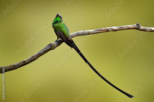 Naklejka premium Black-tailed trainbearer, Lesbia victoriae, green hummingbird with very long tail in the nature habitat, Papallacta, Ecuador in South America. Rare bird with clear background. Hummingbird, wildlife.