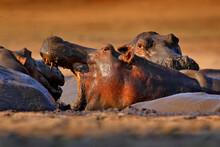 Hippo With Open Muzzle In The Water. Hippo Fight. African Hippopotamus, Hippopotamus Amphibius Capensis, With Evening Sun, Animal In The Nature Water Habitat, Botswana, Africa. Wildlife Nature.