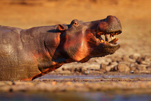 Hippo With Open Mouth Muzzle With Toouth, Danger Animal In The Water. Mana Pools NP, Zimbabwe. Detail Portrait Of Hippo Head.  Hippopotamus Amphibius Capensis, With Evening Sun, Animal In The Nature.