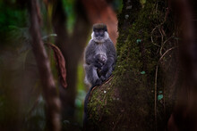 Bale Vervet Monkey, Chlorocebus Djamdjamensis, With Young Baby In The Forest. Harenna, Bale Mountains NP, In Ethiopia. Monkey Animal From East Africa. Animal With Young Baby, Mother Care. Wildlife.