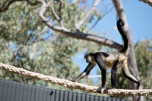 The Spider Monkey Is Walking Along A Rope