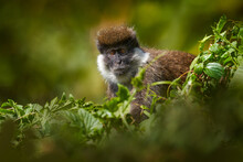 Ethiopia Monkey Portrait. Bale Vervet Monkey, Chlorocebus Djamdjamensis, With Moss In The Hands, Harenna Forest, Bale Mountains NP, In Ethiopia. Monkey Animal From East Africa. Wildlife Nature.