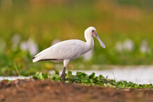 African Spoonbill, Platalea Alba, Ibis From Lake Ziway, Ethiopia In Africa. Bird Searching Food In The River Water. White Spoonbill With Red Spoon Beak, In The Habitat. Wildlife Nature.