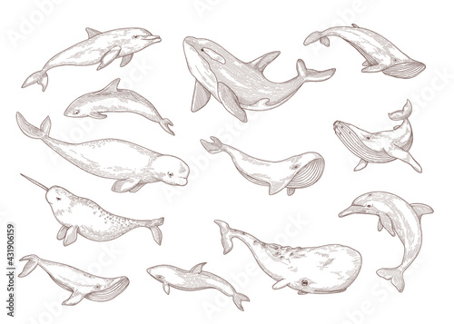 Lerretsbilde Species of whales isolated hand drawn vector illustration set