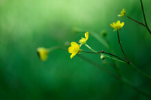 Gentle, Little Yellow Flower On A Green Background.