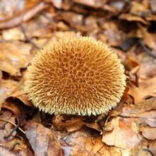 Lycoperdon Echinatum.
