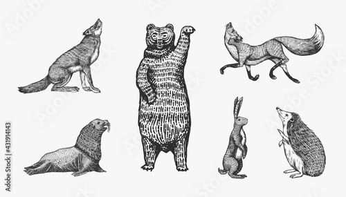 Forest animals. Bear Grizzly, Wolf and red Fox, Hare and Hedgehog and Seal. Beasts stand on two paws. Vector Engraved hand drawn Vintage sketch for label or poster. - fototapety na wymiar