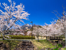 Cherry Blossom Trees In Full Bloom Along Wetland In A Park, Mountain With Remaining Snow Behind (Kamegajo Park, Inawashiro, Fukushima)