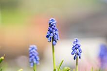 Beautiful Blue Springflowers, Muscari Neglectum, In The Morning