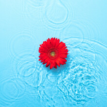 Fresh Red Tropical Daisy With Water Droplets On Blue Background With Water And Water Waves. Abstract Art. Minimal Concept. Minimal Summer Background Idea.