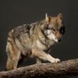 Hybrid aus Wolf und Hund, Studiofoto vor schwarzem Hintergrund