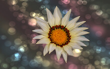 African Daisy Against Bokeh Background