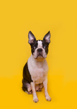 Portrait Of Brown And White Boston Terrier Puppy Sitting Against Yellow Background