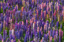 Pink And Purple Lupines (Lupinus Polyphyllus) Blooming In Springtime Meadow