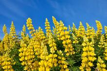Yellow Bush Lupine (Lupinus Arboreus) Blooming In Spring