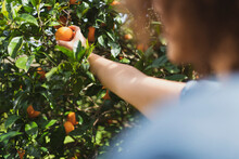 Woman Picking Oranges From Tree In In Garden