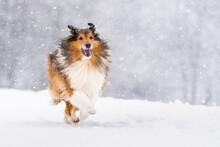 Shetland Sheepdog Running While Snowing During Winter