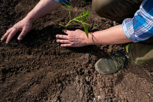 A Gardener Plants A Young Tomato Bush In The Ground.