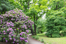 Germany, Saxony, Leipzig, Large Rhododendron Bush Flowering In Palmengarten Park With Oak Trees In Background