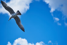 Seagull Flying High On The Wind. Flying Gull. Seagull Flying On Beautiful Blue Sky And Cloud