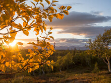 Autumn Leafs On Branch In Forest In Sweden During Sunset