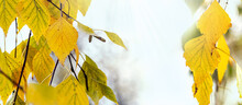 Hanging Birch Branches With Yellow Leaves On A Light Background In The Rays Of The Sun