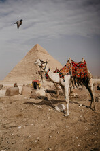 Egypt, Cairo, Two Camels Standing In Front Of Great Pyramid Of Giza