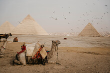 Egypt, Cairo, Flock Of Birds Flying Over Camels Resting Near Giza Pyramids