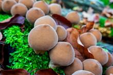 Germany, Bavaria, Wurzburg, Umber-brown Puffball (Lycoperdon Umbrinum)