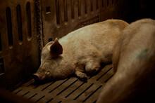 Pigs Sleeping In Pen