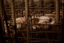 Pigs Looking Away In Pen