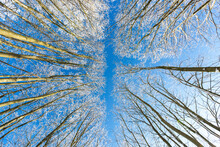 Directly Below View Of Winter Forest Against Blue Sky