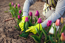 Gardener Picking Purple Tulips In Spring Garden. Woman Cuts Flowers Off With Secateurs Picking Them In Basket