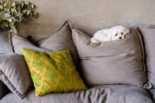 Maltese Dog Resting On Cushion Against Wall